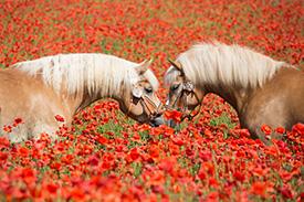 engagement-envers-la-race-chevaux-jument-lait-bio-copmed