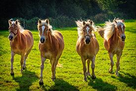haute-qualite-chevaux-jument-lait-bio-copmed