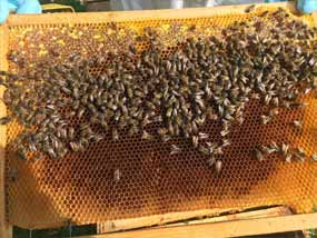 abeille sur alveole ruche copmed